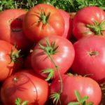 Самые урожайные помидоры