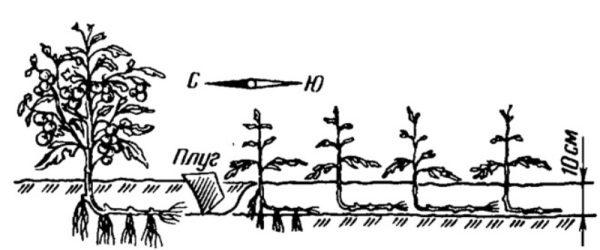 Схема выращивания томатов по методу И.М. Маслова
