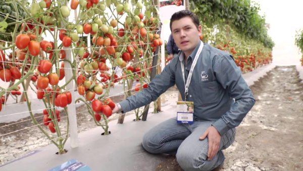 Полезные и спелые плоды томатов, готовые к сбору