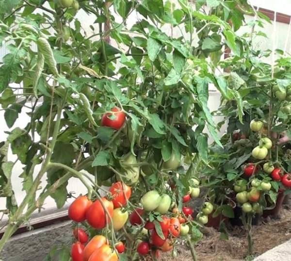 Выращивание помидоров по Маслову исключает пасынкование растения