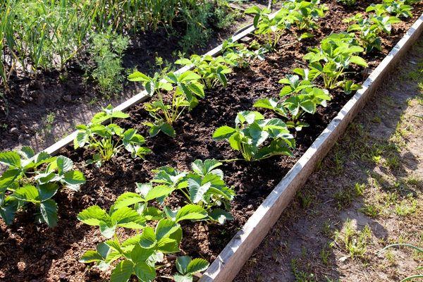 В качестве соседа для клубники можно выбрать шпинат, салат или редис