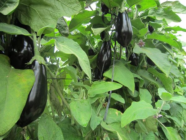 Рядом с баклажанами можно посадить фасоль или горох