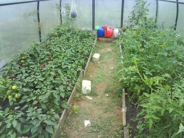 Для томатов хорошо подходит в соседи перец