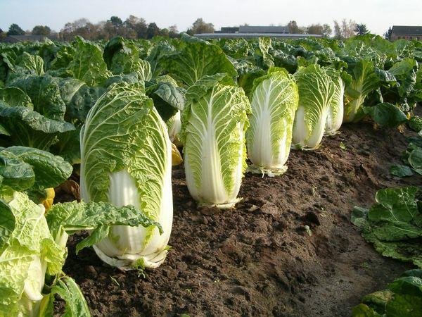 Капуста хорошо соседствует с салатом