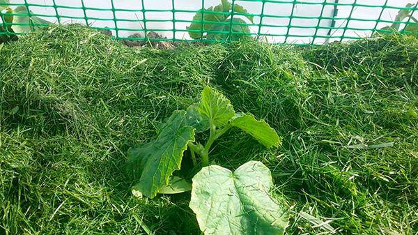 Скошенная трава в качестве мульчи