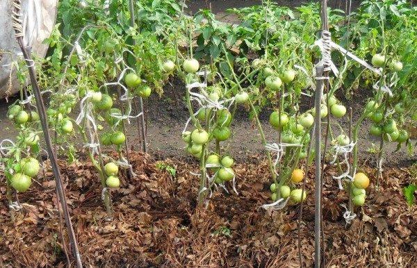 Для сокращения числа поливов и ускорения созревания плодов помидоры мульчируют