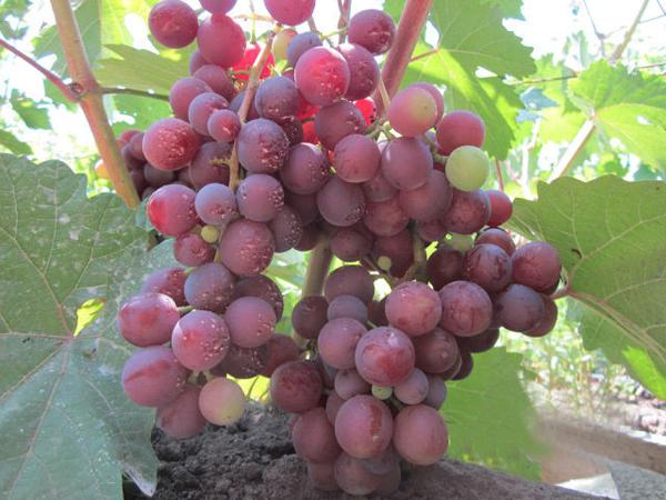 Мускатный сорт винограда