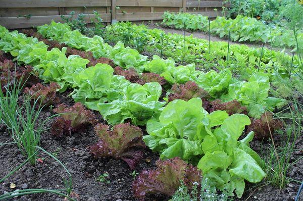 Для посадки салата выбирается хорошо проветриваемое и освещенное место
