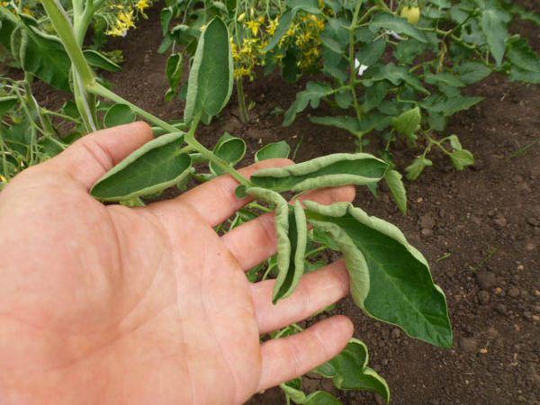 Недостаток микроэлементов у томатов