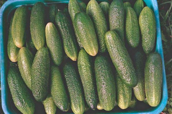 Плоды сорта без горечи и при должном уходе огурец порадует высокой урожайностью