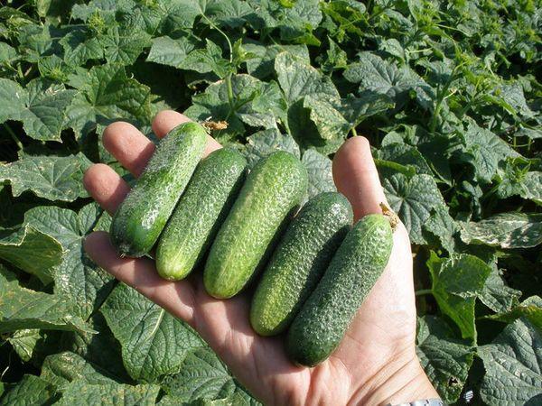 Урожай огурца необходимо собирать своевременно