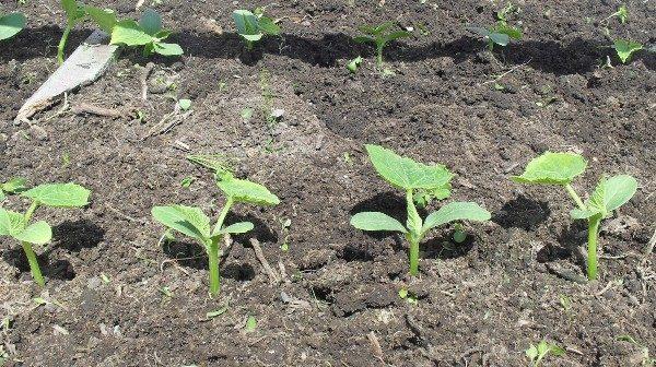 Высаживать кусты огурцов следует не менее чем через 20-30 см