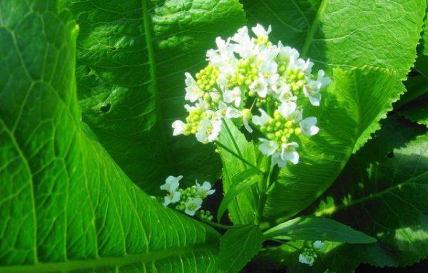 Цветок растения хрен