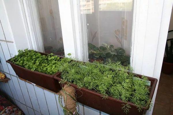 При выращивании на балконе высокая температура может привести к пожелтению укропа