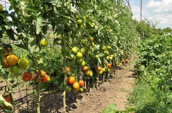 Выращивание помидоров на шпалере