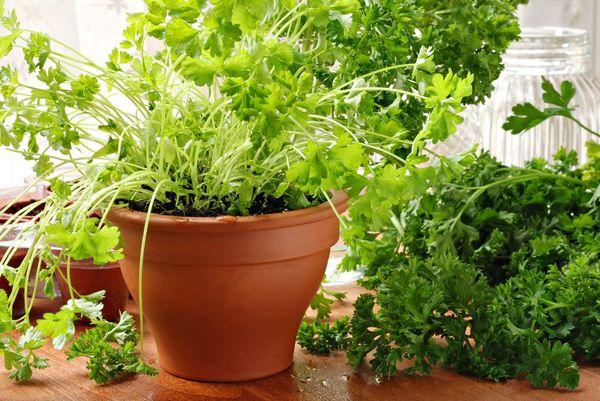 Пластиковый горшок высотой от 25 см хорошо подойдет для выращивания петрушки