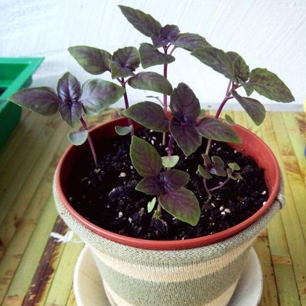 Для выращивания в квартире подойдут горшки объемом 1-2 литра