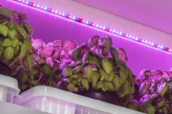 В зимний период может понадобится дополнительное освещение горшков с базиликом