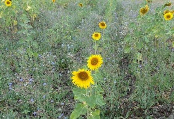 Как правило, сорная трава растет быстрее подсолнечника