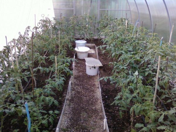 Томаты, слегка присыпанные компостом