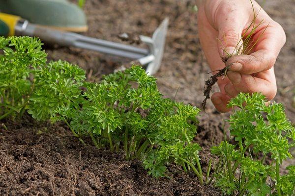Рыхление почвы и удаление сорняков нужно выполнять не менее 4 раз