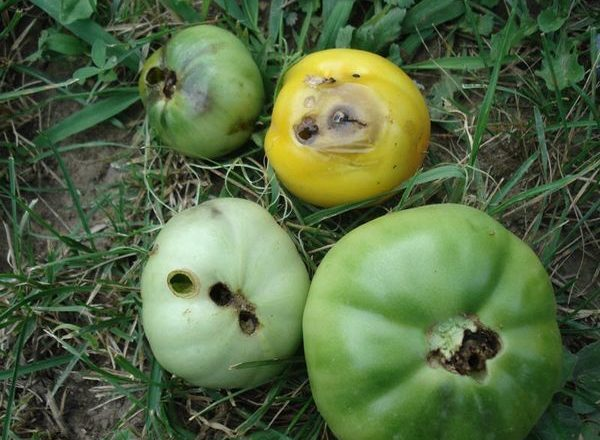 Проволочник на томатах в теплице