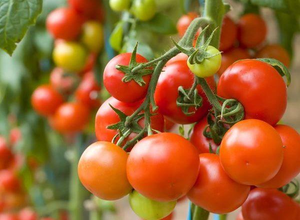 Что можно сажать после томатов