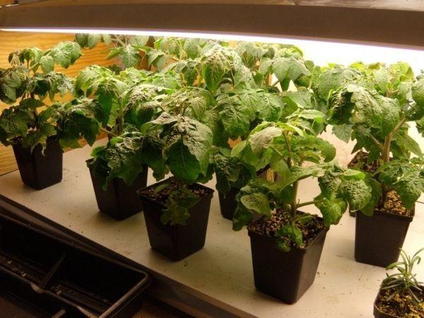 Подготовка семян и выращивание рассады