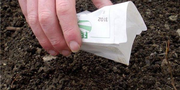 Семена репы высаживают в хорошо пролитую водой почву