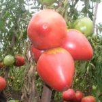 Лучшие урожайные сладкие сорта для Урала
