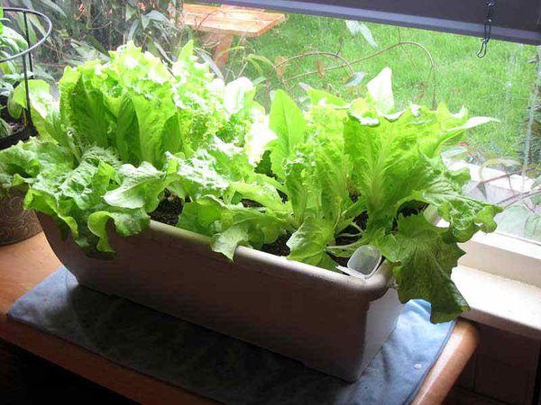 Салат в домашних условиях из семян 908