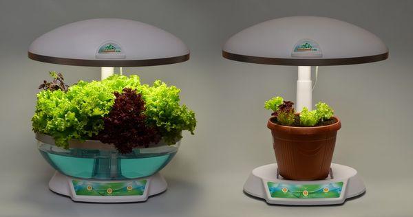 Световой день при выращивании салата должен длиться 12-14 часов