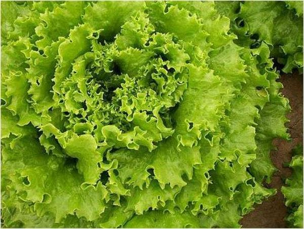 Батавия - самый подходящий сорт салата для квартиры