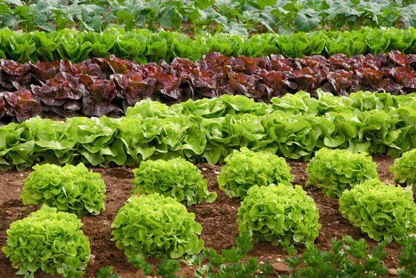 Грядка с разнообразными сортами салата