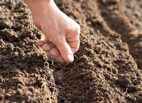На рост укропа влияет плодородность почвы