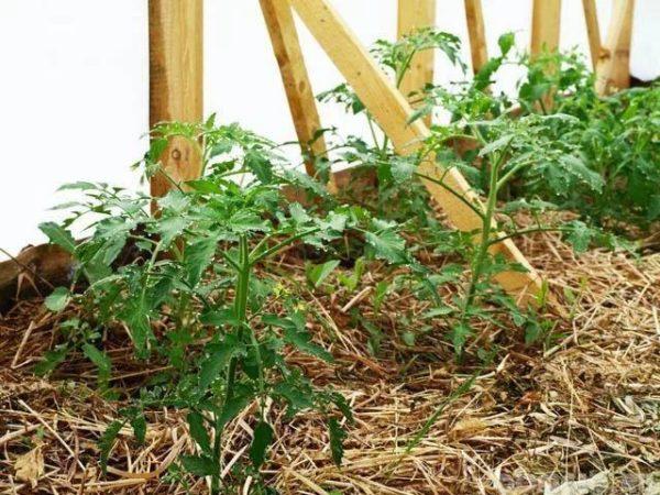 Мульрованая грядка томатов сеном