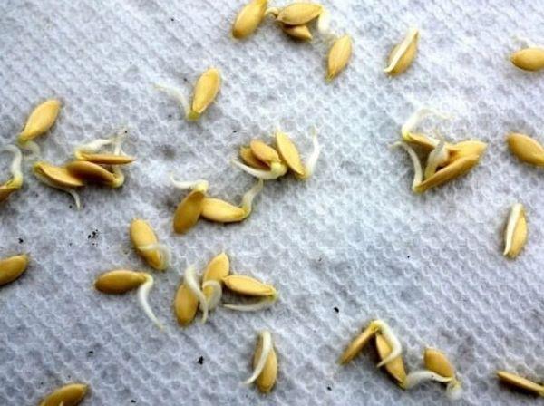 Проросшие семена огурцов