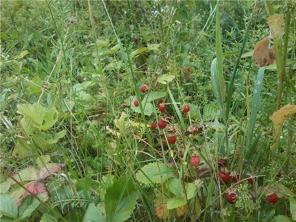Разросшиеся сорняки могут привести к появлению серой гнили