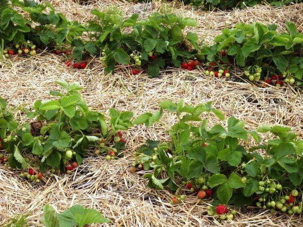 С помощью мульчирования можно исключить соприкосновение плодов клубники с землей