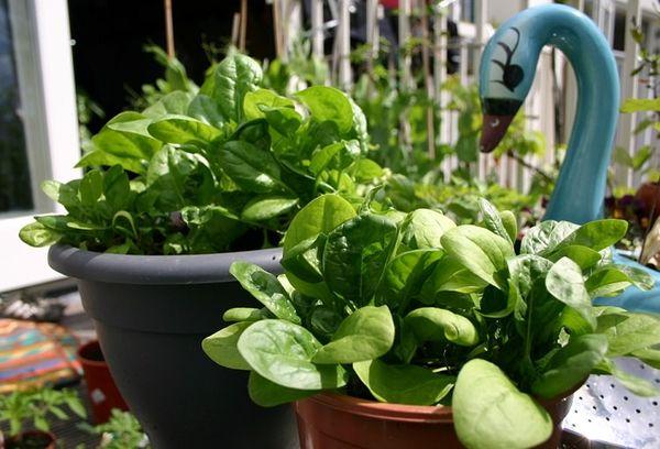 Выращивать шпинат можно и в горшках, и в цветочных ящиках