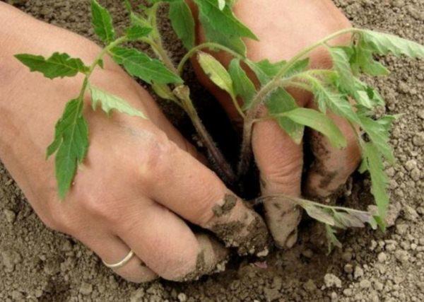 Высаживают рассаду томата Малиновый звон в возрасте около 60 дней в теплицу, в открытый грунт - на неделю позже