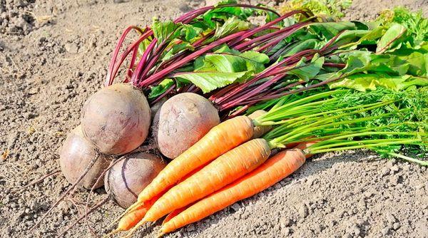 Как садить морковь и свеклу семенами