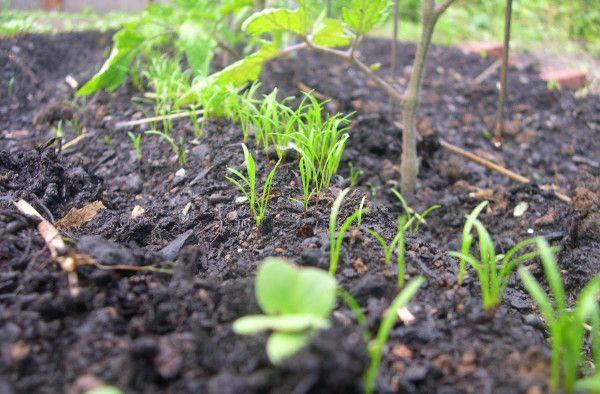 Всходы моркови из семян