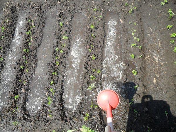 Для моркови и свеклы важен регулярный полив