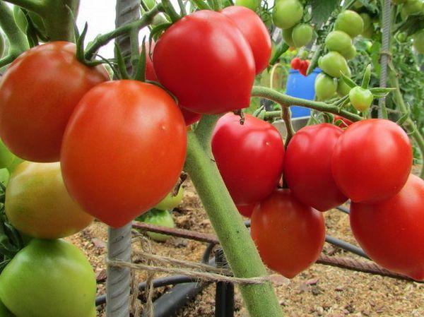 Плоды сорта похожи на сливки и их средний вес около 100 грамм
