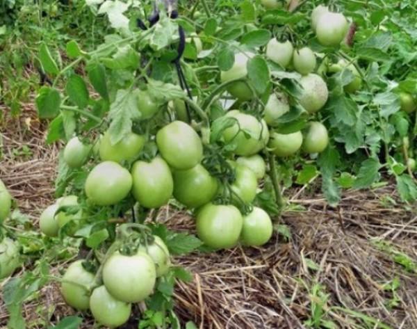 К недостаткам сорта относят плохое формирование плодов в жаркую погоду