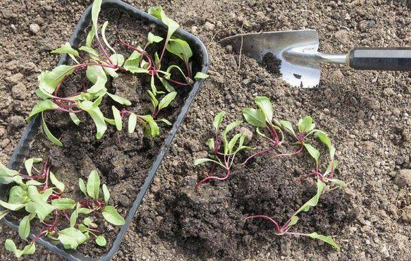 Рассаду свеклы высаживают в грунт по одному росточку через 10 см