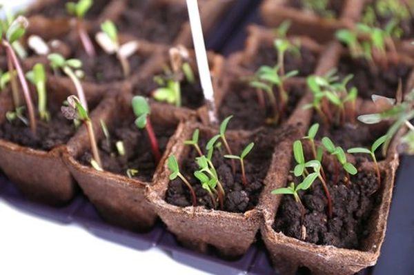 При высаживании семян на рассаду ящики хранят дома или в теплице