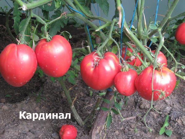 На каждой кисти сорта может размещаться 5-7 плодов