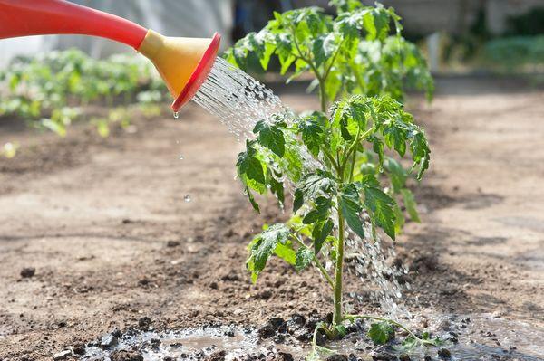 В открытом грунте полив томатов осуществляется 1-2 раза в неделю